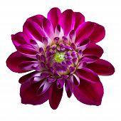 foto of chrysanthemum  - Pink chrysanthemum dahlia isolated over white background - JPG