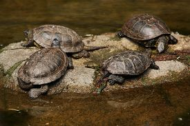 image of terrapin turtle  - European pond turtle  - JPG