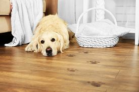 stock photo of labrador  - Cute Labrador and muddy paw prints on wooden floor in room - JPG