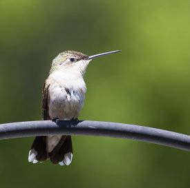 picture of hummingbirds  - Sitting hummingbird turned in profile with a green background - JPG