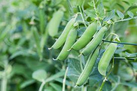 image of sweet pea  - Pods sweet green peas in the garden - JPG