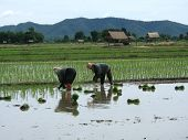 Two Women Working In A Rice Plantation In Thailand