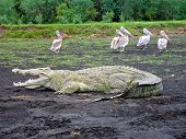 Basking Crocodile At Lake Chamo, Nech Sar National Park, Ethiopia