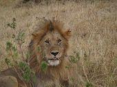 große männliche Löwen, die im Gras liegend