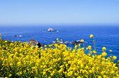 Bright yellow flowers along ocean coastline