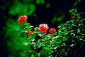 stock photo of garden eden  - bush of red roses in garden - JPG