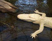 Albino Alligator Closeup