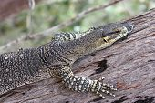 foto of goanna  - Close up of goanna  - JPG