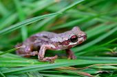 Little Red Eyed Frog In Grass