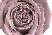 Pale Victorian Rose