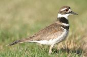 Killdeer Profile