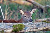 Wild deer looking over a fallen tree