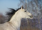 pic of dapple-grey  - purebred young gray arab horse close up - JPG