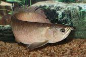 Silver Arowana Fish (Whole Body).