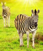Wild Zebras Of African Continent