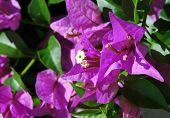 Purple Buganville