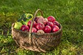 Apple Harvest. Ripe Red Apples In The Basket On The Green Grass. Apple Harvest. Ripe Red Apples poster