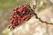 Red berry cluster