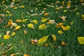 Background Of Autumn Fallen Leaves. Uniform Distribution Of Leaves On The Ground. Fallen Leaves Lie  poster