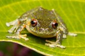 Tree Frog, Tree Frog Of Borneo, Tree Frog On Leaf , Frog Of Borneo , Frog With Isolated Black Backgr poster