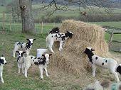Jacobs Sheep Lambs.