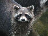 Raccoon - 2