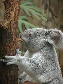 Koala - 1