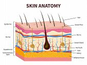 Human Skin. Layered Epidermis With Hair Follicle, Sweat And Sebaceous Glands. Healthy Skin Anatomy M poster