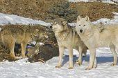 Gray Wolf Pack con su muerte