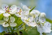 The Apple Tree In Springtime In Bloom. Beautiful White Blooming Flowers. Nice Macro Shot With Shallo poster