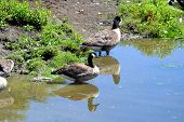 Geese at the Swimming Hole