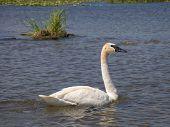 foto of trumpeter swan  - Trumpeter Swan swimming in a Minnesota Lake - JPG