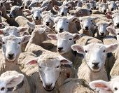foto of sheep  - Sheep Sheep Sheep Sheep and more Sheep - JPG