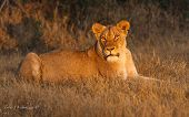 Lion in morning sunlight