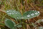 Dew Drops On A Pair Of Leaves