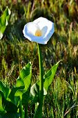 White Arum Lily