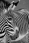 Zebra close up head shot