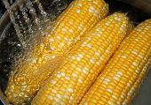 Fresh Sweet Corn Rinsing Under Water