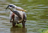 Great Blue Heron (Ardea herodias) fishing
