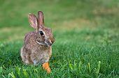 Cottontail rabbit bunny eating carrot