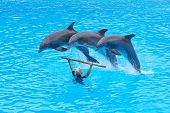 Three Bottlenose Dolphins, Tursiops Truncatus,