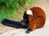 A close up of the rare red ruffed lemur (Varecia rubra) from the island of madagascar