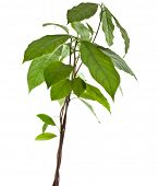 pic of avocado tree  - avocado young tree  isolated on white background - JPG
