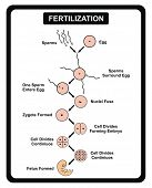 Vector - Fertilization Steps