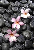 Still life with three frangipani on black peddles
