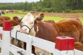 pic of hereford  - Polled hereford tied up at a washing station during a country agricultural fair - JPG