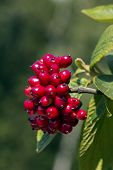 cluster of red fruit of wayfaring tree