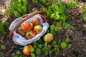 Fresh Apples in wicker basket on grass