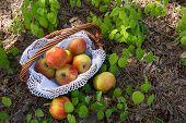 Fresh Apples in wicker basket on grass