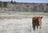 Organic Red Angus calf